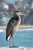Great Blue Heron. (Ardea herodias), on wharf in California stock photography