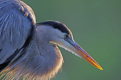 Free Great Blue Heron Royalty Free Stock Photos - 40813278