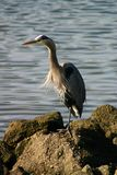 Great Blue Heron. Hunts for fish in Bodega Bay Area Royalty Free Stock Photo