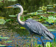 Free Great Blue Heron Stock Photos - 45671793