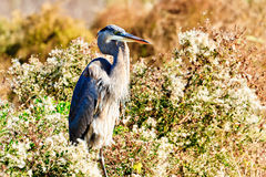 Free Great Blue Heron Stock Images - 46551634