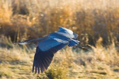 Great blue heron. A great blue heron flying in front of a dry grassy field Stock Photo