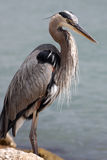 Great Blue Heron. Standing by waterway in Sarasota, Florida Royalty Free Stock Photography