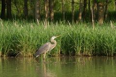 Free Great Blue Heron Royalty Free Stock Image - 5066806
