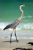 Great Blue Heron. The Great Blue Heron on beach at south Florida causeway, complete with surf, driftwood, shadow and reflection Stock Photo