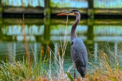 Free Great Blue Heron Royalty Free Stock Photography - 53188637