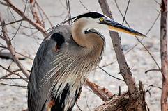 Free Great Blue Heron Stock Photos - 64927953