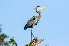 Free Great Blue Heron Royalty Free Stock Photography - 68268607