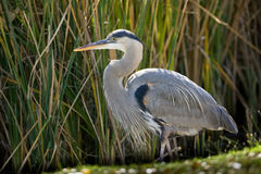 Great Blue Heron. Stalking for Prey Among Reeds Royalty Free Stock Images