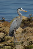 Great Blue Heron. On Elliot Key Stock Image