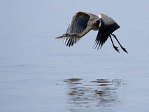 Great Blue Heron. In flight Royalty Free Stock Photo