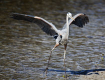 Great Blue Heron. The great blue heron (adrea herodias) is the most widespread heron across North America stock image