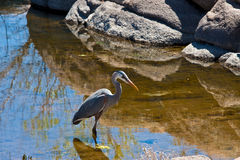 Free Great Blue Heron Royalty Free Stock Photography - 9096317