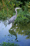 Great Blue Heron. In Florida stock photo