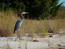 Great blue heron adult standing on log at beach Stock Images