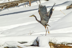 Great Blue Heron. Adult Great Blue Heron Taking Flight From Snowy Perch Stock Images