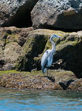 Great Blue Heron in the Alamitos Bay / Channel in Long Beach California Royalty Free Stock Image