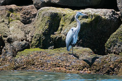 Great Blue Heron in the Alamitos Bay / Channel in Long Beach California Royalty Free Stock Photo