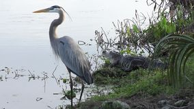 Great blue heron and alligator stock video