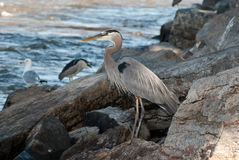 Great Blue Heron along River. Great Blue Heron with Black-capped Night-heron on Rocks along the River Stock Image