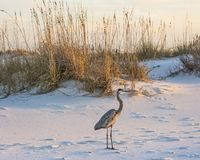 Great Blue Heron Amidst the Dunes. A great blue heron walks on Fort Pickens Beach in the Gulf Islands National Seashore, Florida Stock Photos