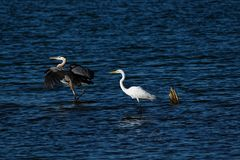 Great Blue Heron And Great Egret In The Water Royalty Free Stock Image