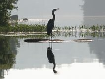 Great Blue Heron (Ardea herodeus) with reflection Stock Images
