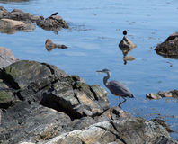 Great Blue Heron (Ardea Herodias). Great Blue Heron wading among the shore rocks Royalty Free Stock Photography