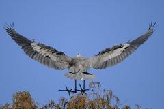 Great blue heron, ardea herodias. Landing on the treetop Stock Photography