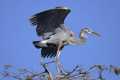 Great blue heron, ardea herodias Stock Images