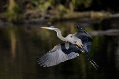 Great blue heron, ardea herodias Stock Photography