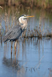 Great Blue Heron, Ardea Herodias Royalty Free Stock Images