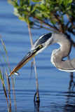 Great Blue Heron, Ardea Herodias Stock Photo