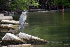 A great blue heron, ardea herodias Royalty Free Stock Images