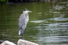 A great blue heron, ardea herodias Stock Photos