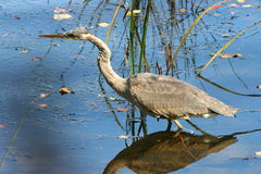 Great Blue Heron, Ardea Herodias Stock Image