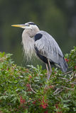 Great Blue Heron, Ardea herodias Royalty Free Stock Image