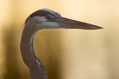 Great Blue Heron, Ardea herodias Royalty Free Stock Photography