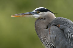 Great Blue Heron ( Ardea herodias ) Royalty Free Stock Photography