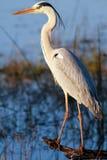 Great Blue Heron (Ardea Herodias) Royalty Free Stock Photography