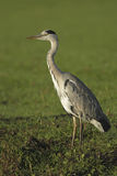 Great blue heron (Ardea herodias Stock Images