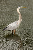 Great Blue Heron (Ardea herodias) royalty free stock photo