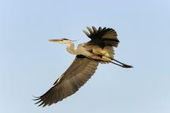 Great blue heron, ardea herodias Royalty Free Stock Photo