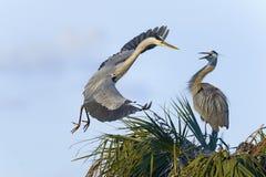 Great blue heron, ardea herodias Royalty Free Stock Photos