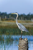 Great blue heron, ardea herodias Stock Photos