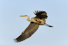 Great blue heron, ardea herodias Royalty Free Stock Photo