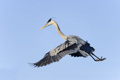 Great blue heron, ardea herodias Royalty Free Stock Photos