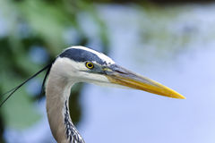 Great blue heron, ardea herodias Stock Photos