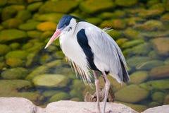 Great Blue Heron (Ardea herodias) Stock Photography