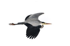 Great blue heron. Ardea herodias Stock Photos